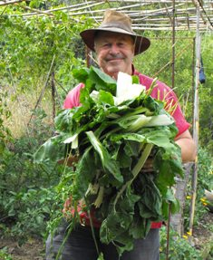 The alcega (chard) harvest