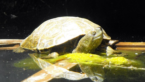 Our Iberian water tortoise in bright sun, enjoying the June river water, piped into our water tank