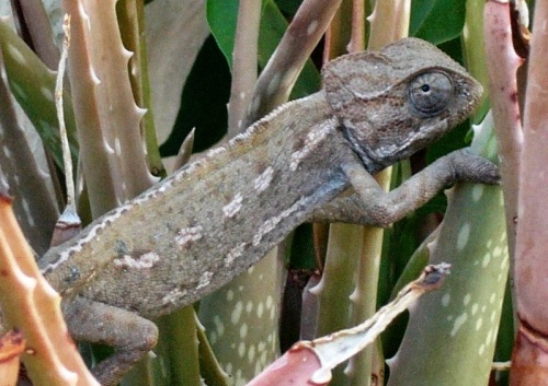 Chameleon among the aloes in our two bedroom cottage garden