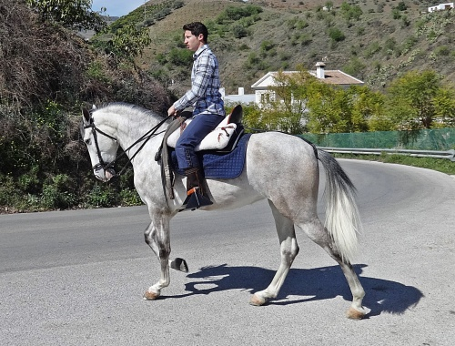 An andalucian horse seems to stand like this just by habit