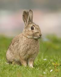 "The wild rabbit is a ""key species"" in Spain, being virtrually the sole source of food for the Spanish Lynx and the Imperial eagle"