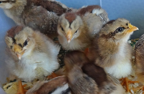 "These chicks are nine days old and live in a ""brooder"" - an artificial mother chicken"