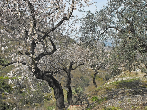 Grove of old almonds in bloom