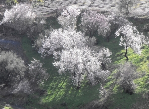 Cascade of flowering sweet almond trees
