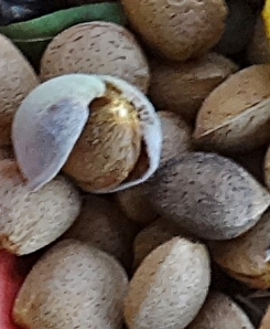 Our Marcona almonds. They are plump and very sweet. The darker ones are last years still hanging onto the tree