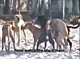 Three dogs fuck each other while another two stand around uselessly and bark